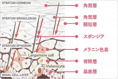 スポンジアが肌に作用するイメージ